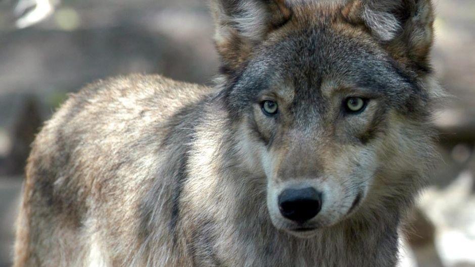 wolf dog tour banff