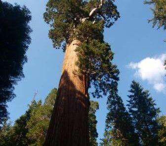 El Sequioa National Park es el bosque más importante de EEUU de árboles gigantes