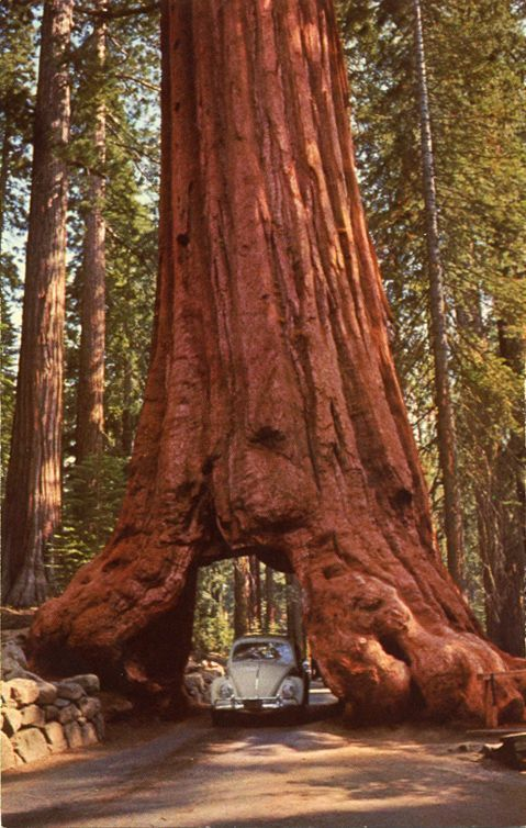 Sequoia en Mariposa Grove