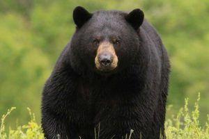 osos en tocino