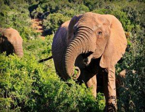 Elefante africano Safari Parque Kruger