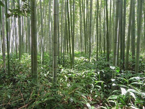 viaje al bosque de bambú en Japón