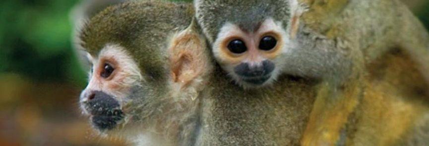Monkey Madre de Dios -PE