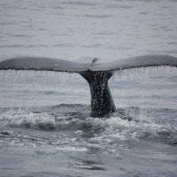 ballena-azul-canada
