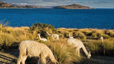 Alpaca Titicaca