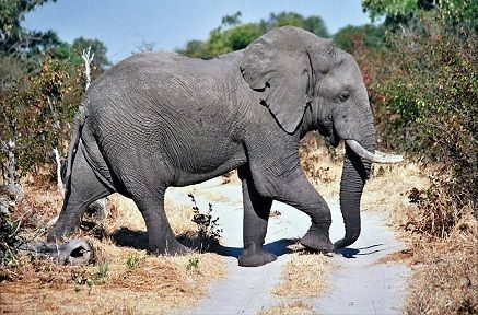 Moremi_elephant