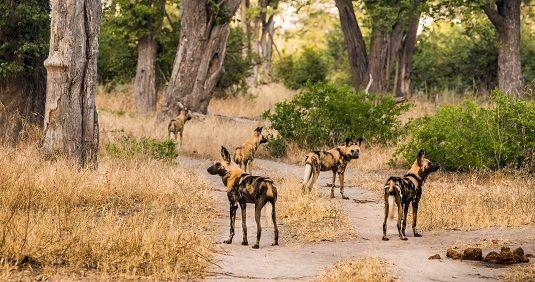 moremi-safari