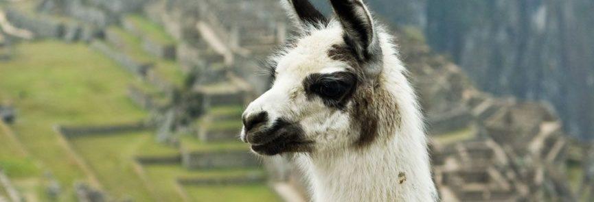 Llama_on_Machu_Picchu