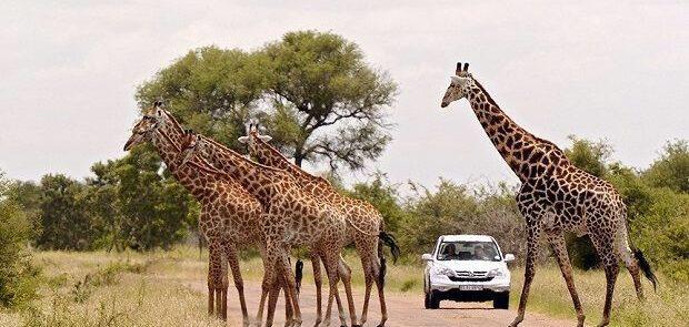 Un grupo de jirafas atravesando un camino en el Parque Nacional Krüger.